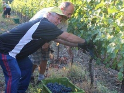 2-men-cutting-grapes