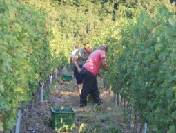 Cutting the grapes early in the morning