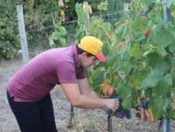 Cutting the grapes